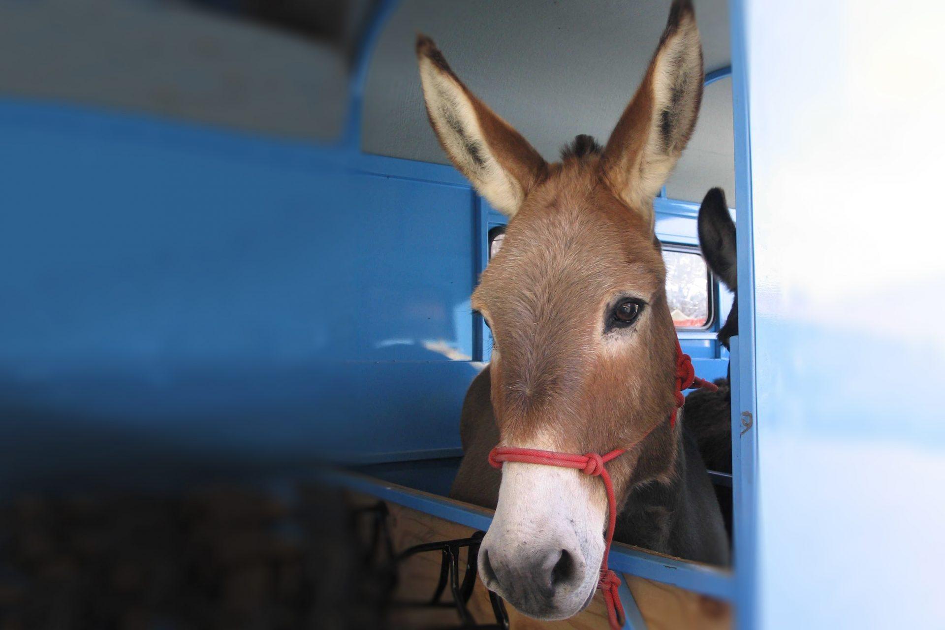 Donkey In Float