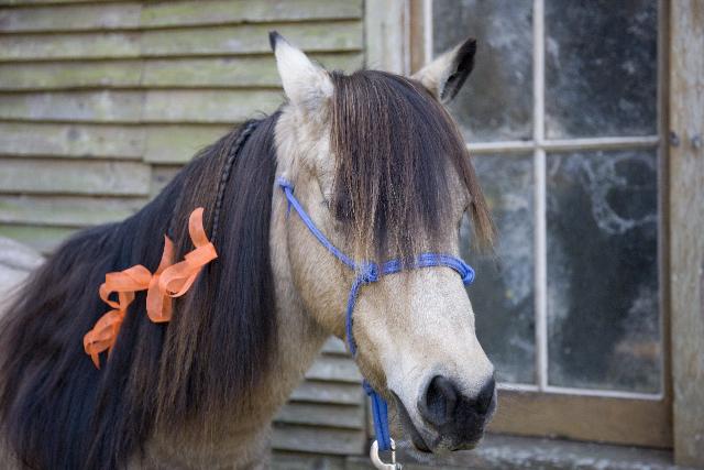 Buckskin Pony With Blue Halter